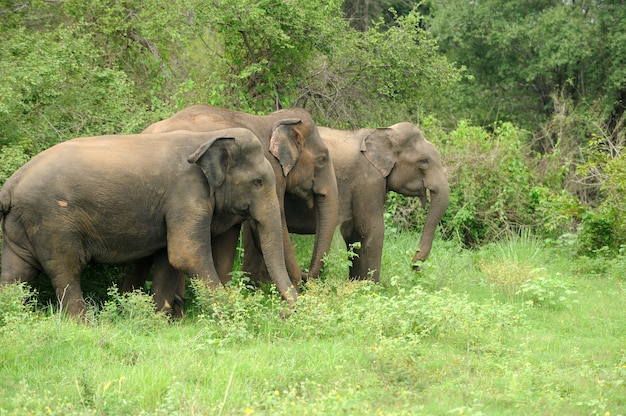 Éléphants dans le parc national, sri-lanka