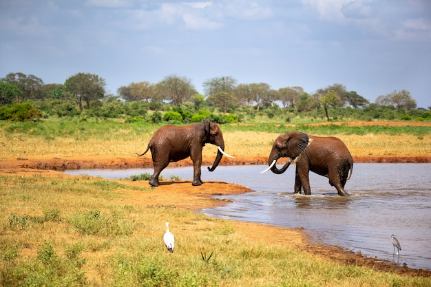 Les éléphants dans la savane près d'un trou d'eau viennent boire