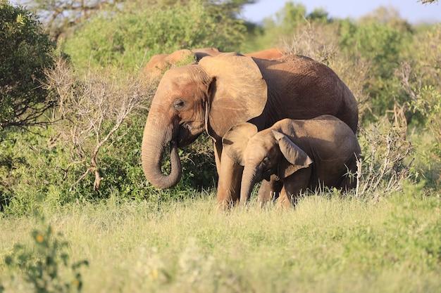 Les éléphants debout les uns à côté des autres dans le parc national de tsavo east, kenya