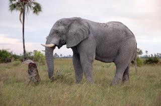 D'éléphants du botswana