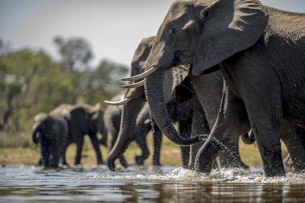 Éléphants Eau Potable Photo gratuit