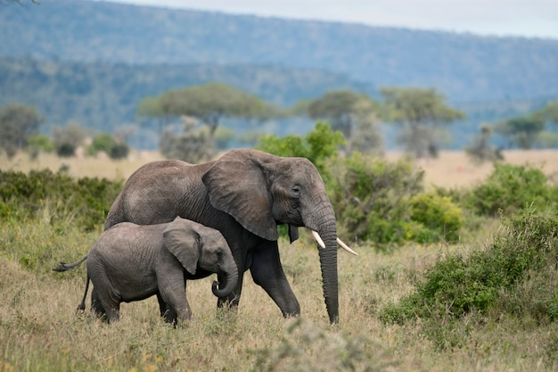 Éléphants à l'état sauvage