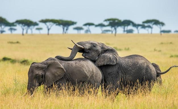 Les éléphants font l'amour dans la savane.