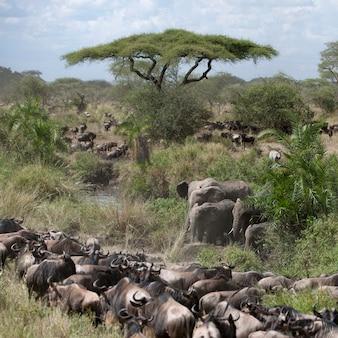Éléphants et gnous dans le parc national du serengeti