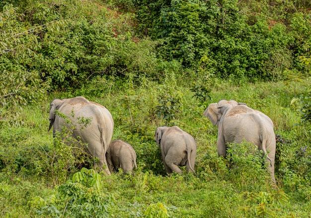 Les éléphants sauvages d'asie ont l'air très heureux avec la nourriture pendant la saison des pluies