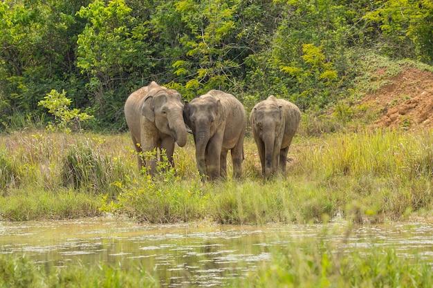 Les éléphants sauvages d'asie sont si mignons