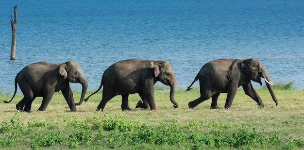 Éléphants sauvages au sri lanka