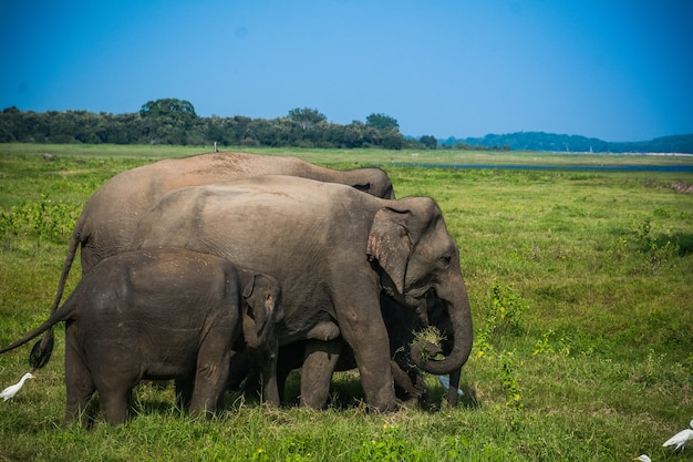 Éléphants sauvages et safari à kaudulla, minneriya au sri lanka