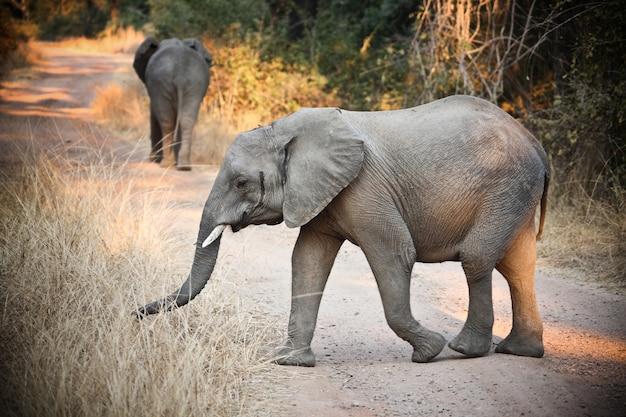 Éléphants sauvages