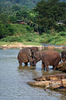 Éléphants se baignant dans la rivière jungle du sri lanka
