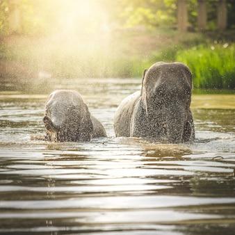 Éléphants se baignant dans la rivière