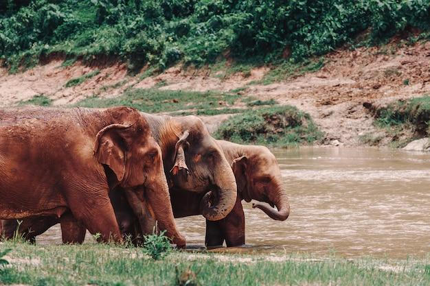 Les éléphants se détendent dans l'eau