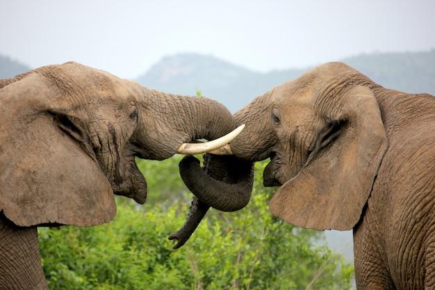 Les éléphants verrouillent leur tronc dans un geste d'amour