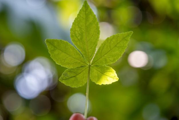 Eleutherococcus trifoliatus feuille verte sur la nature.