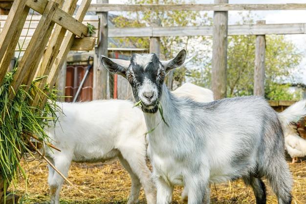 Élevage d'animaux moderne chèvre mignonne se relaxant dans la cour à la ferme en été chèvres domestiques paissant dans p...