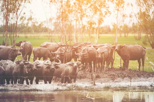 Élevage de bison dans le champ de la thailande