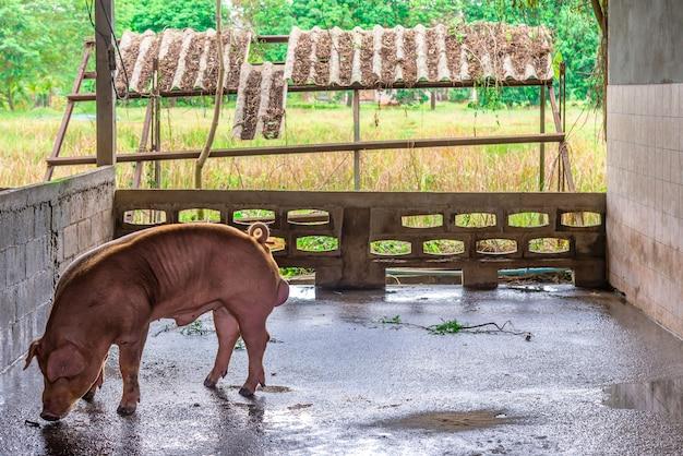 Élevage de cochons rouges dans une ferme