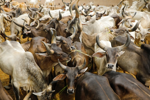 Élevage laitier indien, bétail indien