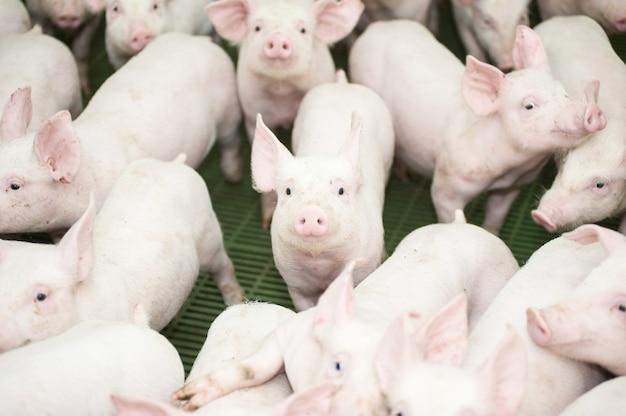 L'élevage porcin est un sous-ensemble de l'élevage porcin et de l'élevage industriel