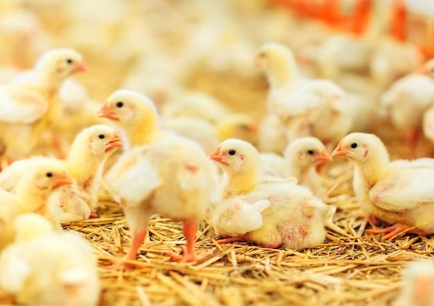 Élevage de poulets à l'intérieur, alimentation des poulets