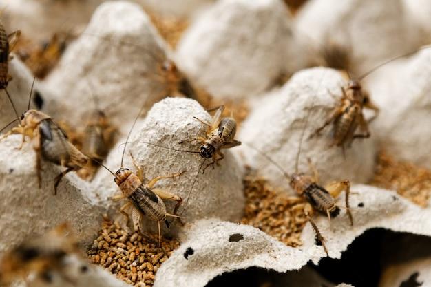 Élevage de sauterelles
