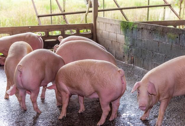 Eleveurs de cochons roses dans une ferme en campagne