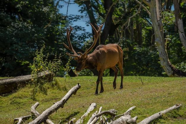 Elk avec crémaillère