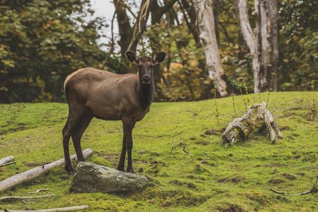 Elk debout sur une colline herbeuse