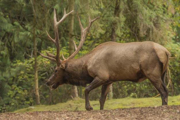 Elk marchant dans la forêt