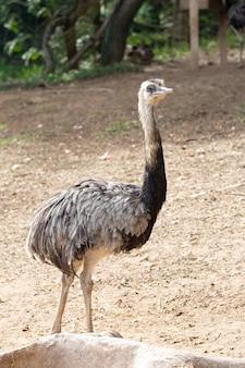 L'émeu est une espèce d'oiseau terrestre endémique d'australie
