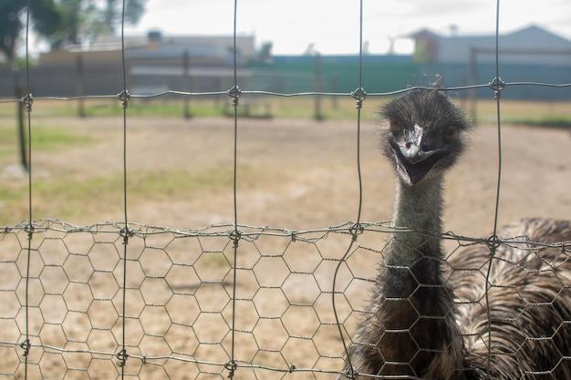 Emu dans la cage métallique