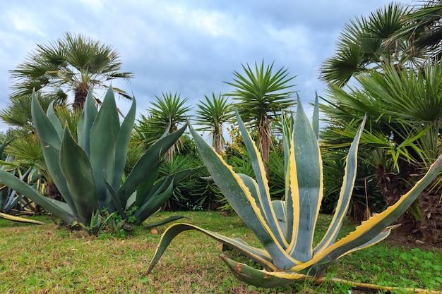 Enchérir des plantes d'agave et des palmiers et un ciel nuageux derrière.