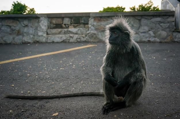 Encotel hérissé - singe noir rare se reposant sur la route kuala selangor