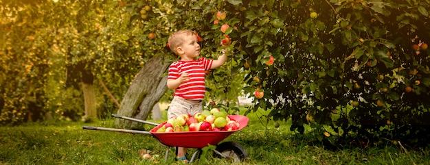 Enfant cueillir des pommes dans une ferme. petit garçon jouant dans le verger de pommiers. kid cueille des fruits et les met dans une brouette. bébé mange des fruits sains à la récolte d'automne. plaisir en plein air pour les enfants