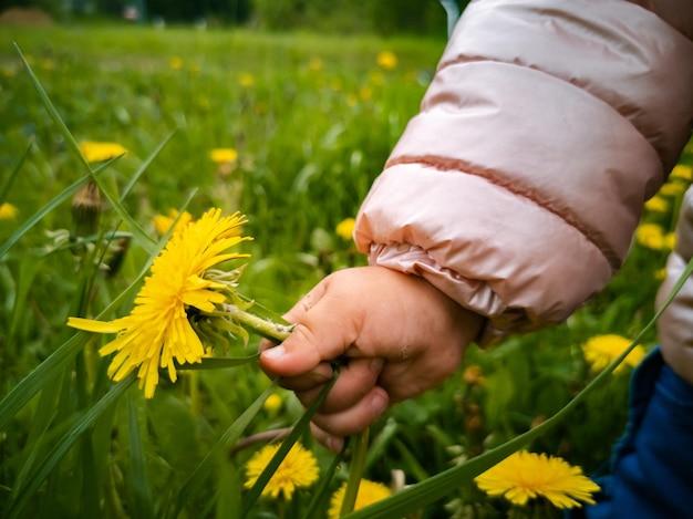 L'enfant déchire les pissenlits à fleurs jaunes dans l'herbe verte, la main des enfants en gros plan recueille des fleurs dans un