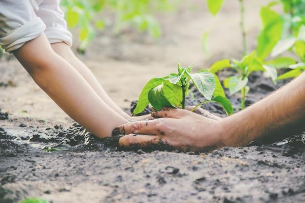 Un enfant plante une plante dans le jardin. mise au point sélective.