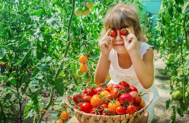 L'enfant récolte une récolte de tomates faites maison. mise au point sélective.