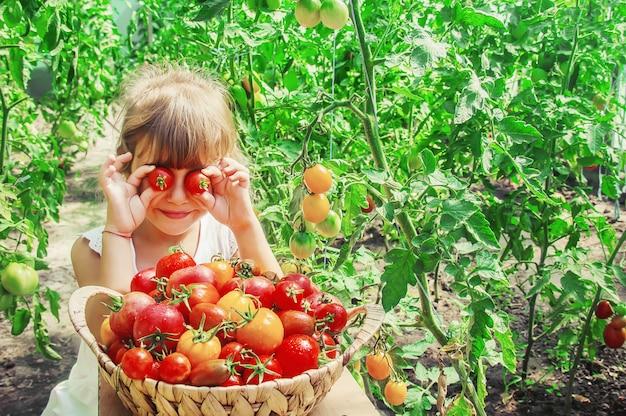 L'enfant recueille une récolte de tomates faites maison. mise au point sélective.