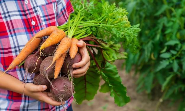 L'enfant tient des betteraves et des carottes dans ses mains dans le jardin. mise au point sélective.