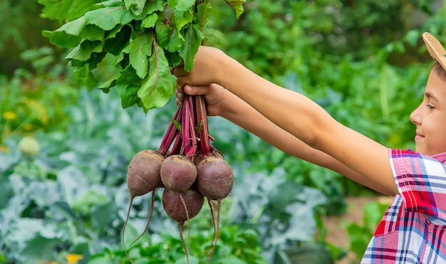 L'enfant tient les betteraves dans ses mains dans le jardin. mise au point sélective. aliments.