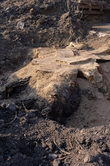 Enlever un vieil arbre, une grosse souche avec des racines dans le sol