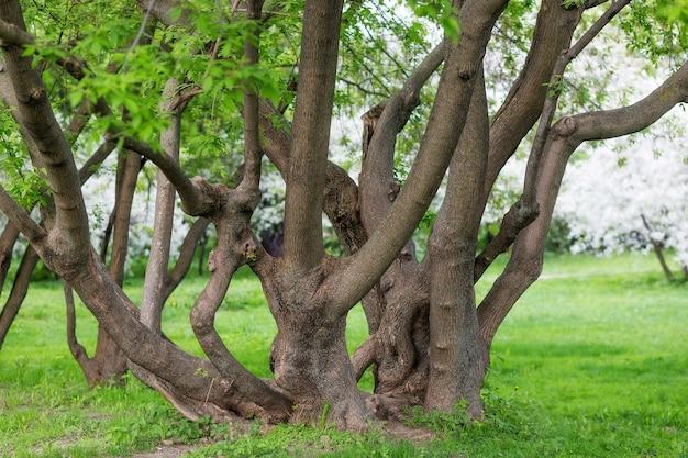 Un énorme arbre étalé avec de nombreux troncs entrelacés. troncs d'arbres entrelacés dans le parc.