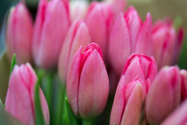 Énorme bouquet de tulipes roses à amsterdam. les pays-bas