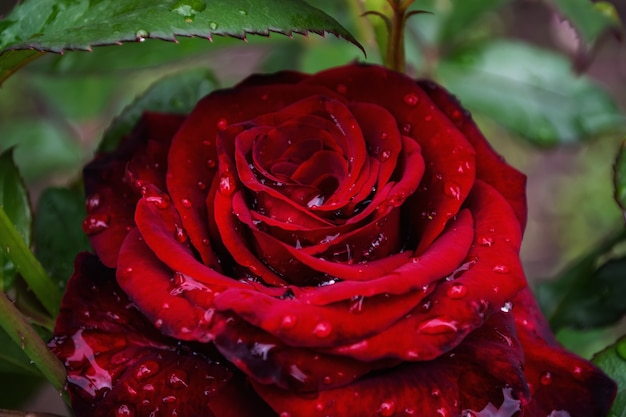 Un énorme bouton de rose sur un buisson sur un fond de feuilles