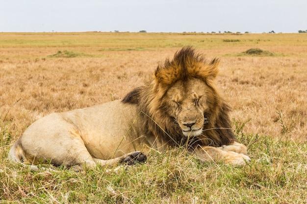 Énorme lion endormi sur la colline de la savane du masai mara au kenya