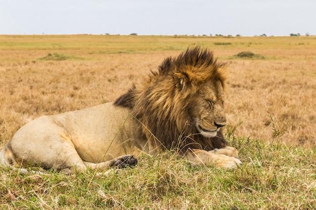 Une énorme savane de lion endormi du masai mara au kenya