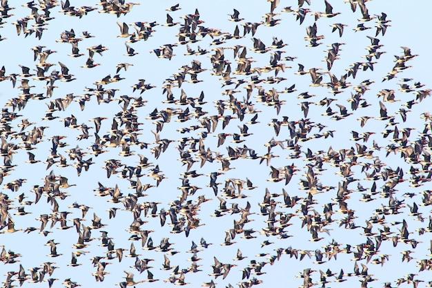 Énorme troupeau d'oie à poitrine rousse (branta ruficollis) et une grande oie rieuse (anser albifrons) en vol.