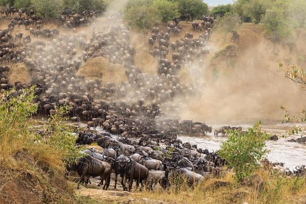 D'énormes troupeaux d'herbivores traversent la rivière