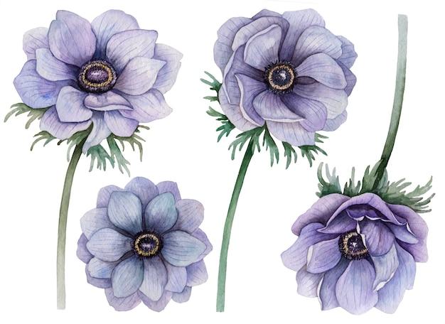 Ensemble aquarelle d'anémones, illustration dessinée à la main de fleurs, éléments floraux isolés sur blanc