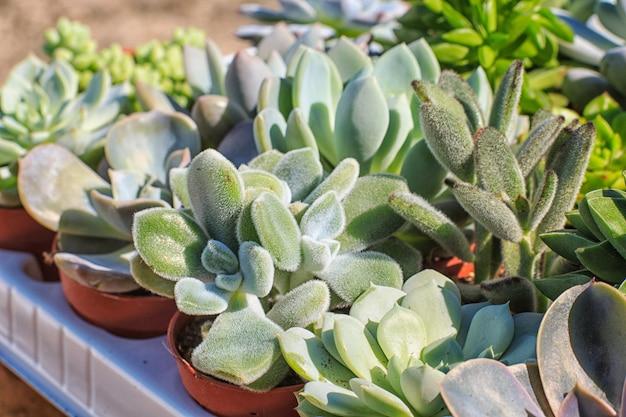 Ensemble de belle petite plante, succulente dans un petit pot de fleur